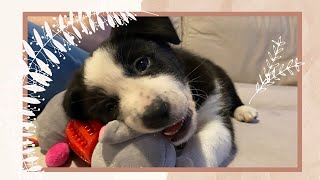A VERY SPECIAL ANNOUNCEMENT | GROWING OUR FAMILY | CUTE TINY BORDER COLLIE SHEEPDOG PUPPY