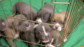 Pitbull Puppies growling and barking