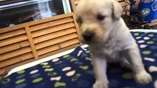 関西・中部のラブラドゥードル子犬販売 http://www.moo-pon.com/mixl 三...