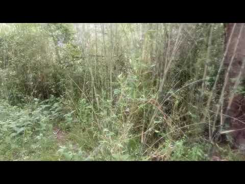Bissetti bamboo  winter super forage for livestock evergreen and very cold hardy to zone 6.