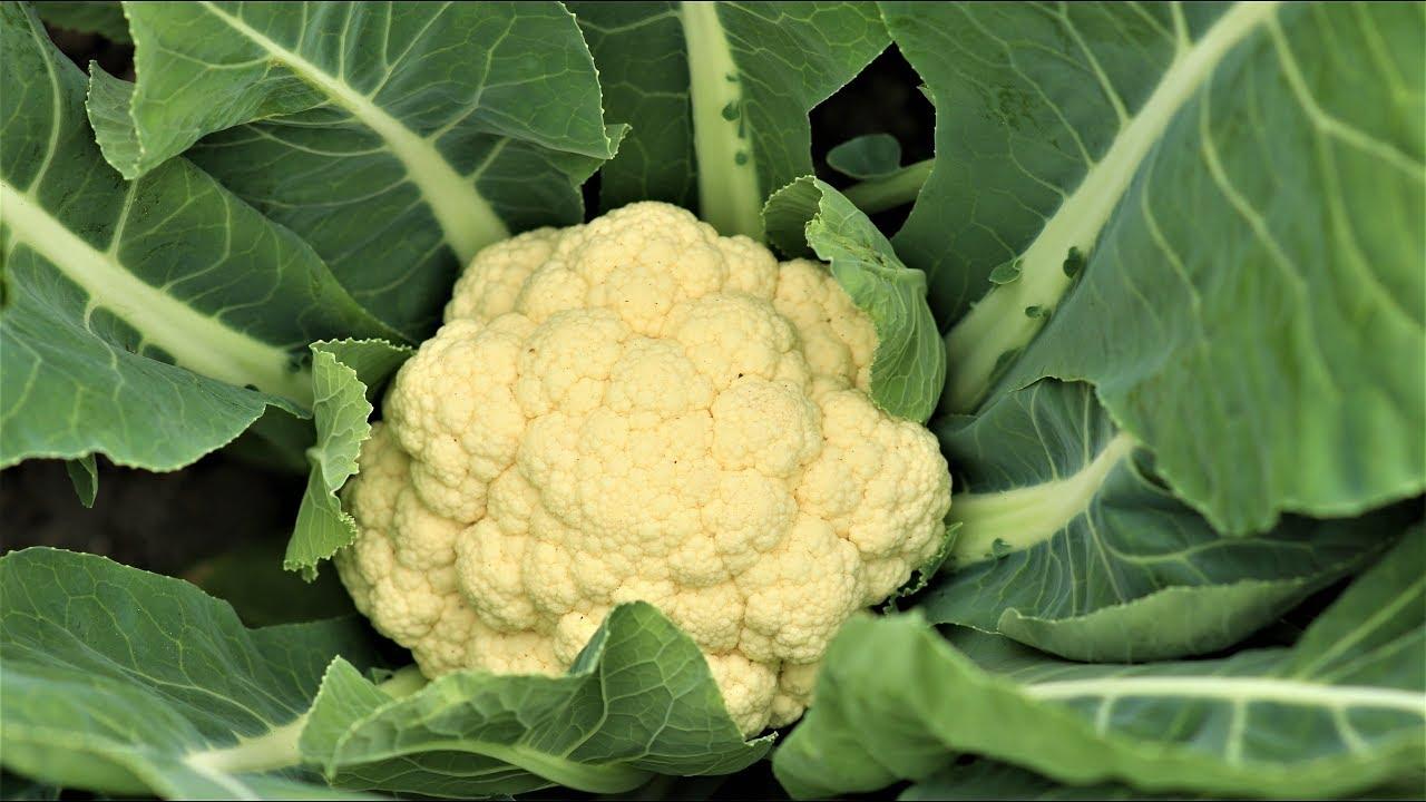 Growing cauliflower: planting and care. The best varieties of cauliflower 4