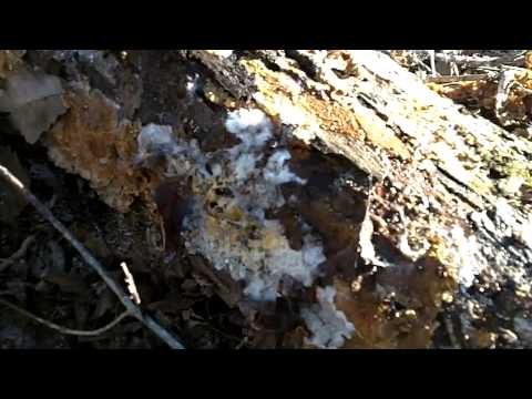 Mushroom Mycelium In Action - Breaking Down A Log Into Dirt!
