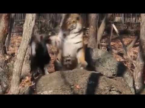 Козел Тимур получил оплеуху от тигра Амура: видео
