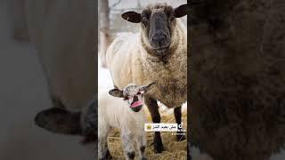 حوار بين خروف و امه قبل عيد الاضحى 😂😂😂😂😂😂😂😂😂😂😂😂😂😂