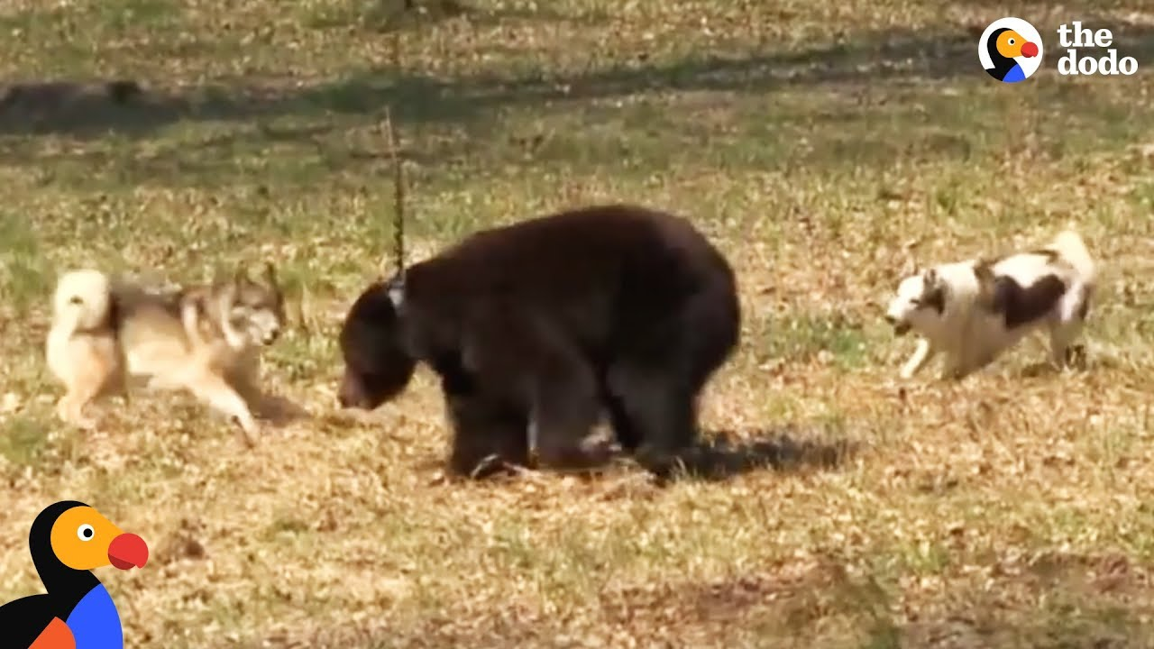 Tyson the Chained Bear Was Used as Bait for Dogs Until He Was Rescued and Set Free | The Dodo