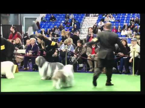 Zak at Westminster - Polish Lowland Sheepdog