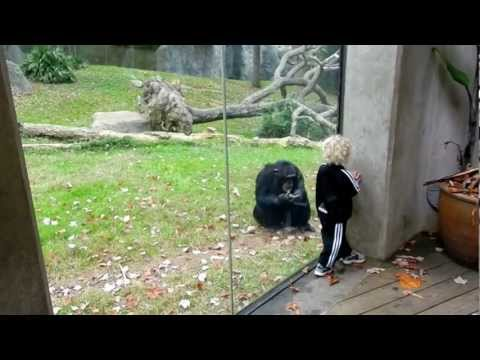 Chimp dancing with 2 year old and dad