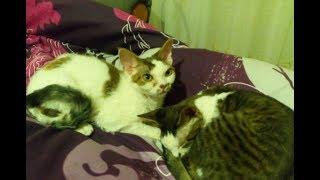 Дружные котята девон-рекс