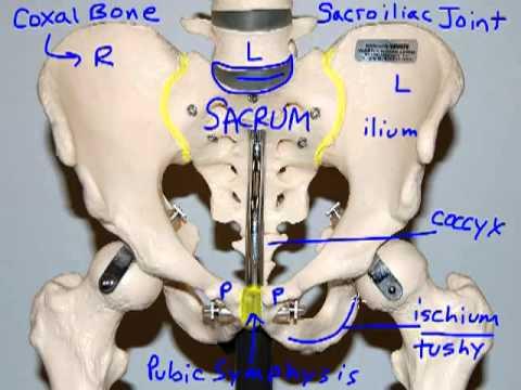 Bones of the Pelvic Girdle