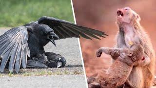 İnsanlar Gibi Ağlayarak Yas Tutan Hayvanlar