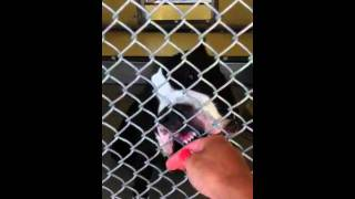 Kissable Pitbull At High Kill Shelter