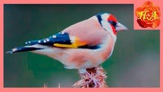 Щеглы весной Слушаю пение щегла Птицы весной 🐦