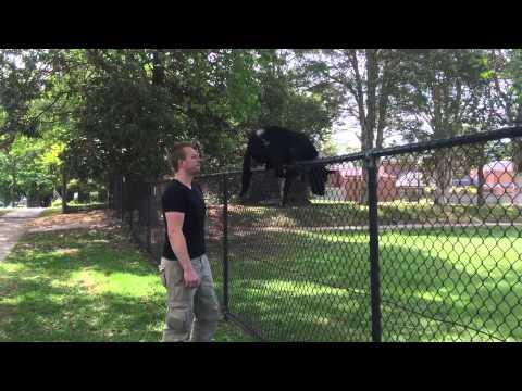 Nox - The Australian Kelpie - jumping a fence