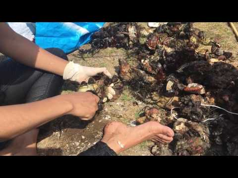 Wilde oesters rapen in Zeeland