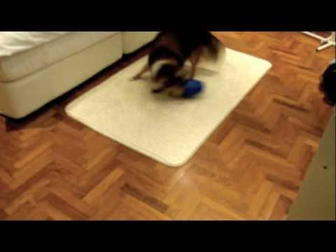 Romeo plays with the Dog Pyramid