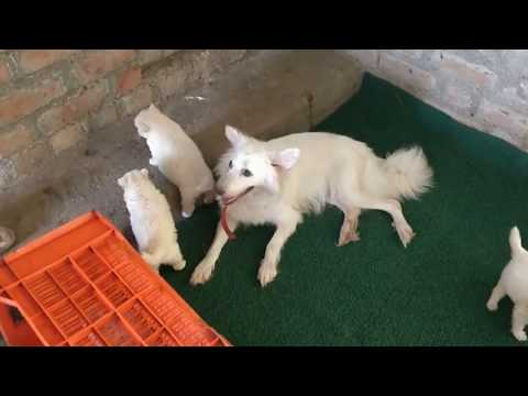 ARM Dog Kennel : Pomeranian Puppies Available For Sale Contact 7775051999