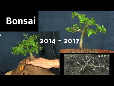 Bonsai vom Sämling zum Bonsai Doku