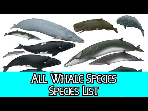 All Whale Species - Species List