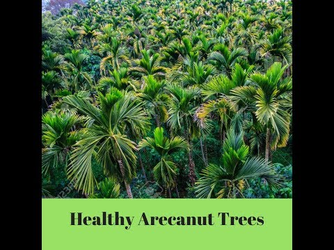 What is required for healthy arecanut trees | Dr Soil organic plant food | White roots in adike