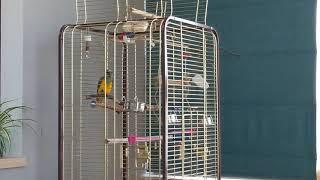 Сенегальский попугай Рикки поет