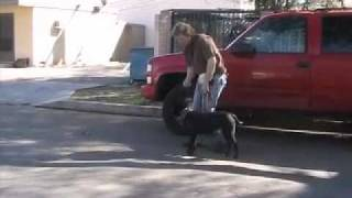 Andy Leash Walking - Well Trained Labrador Boxer Mix Dog For Adoption -- Looking For Home