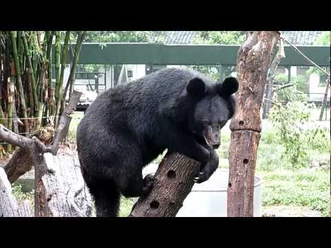 """Jingle Bear"" Animals Asia"