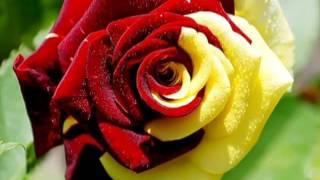 Вероникины розы
