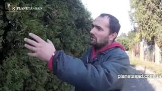 видео Стрижка живой изгороди