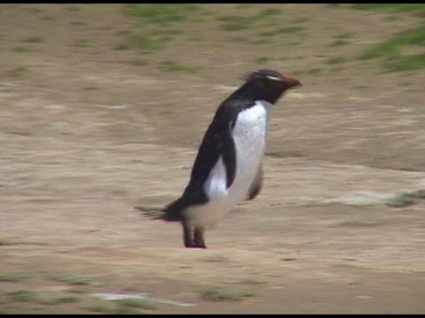 Funny Penguin Video 2 - Rockhopper Penguins