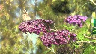 Buddleja sp. aka Butterfly Bush/Buddleia with Suburban Stone Age
