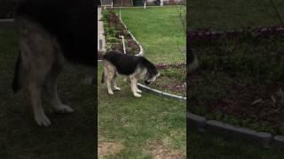 Собака нюхает цветы.