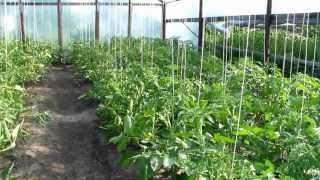 Теплица. Высокорослые помидоры. Пасынкование(, 2013-06-10T14:19:46.000Z)