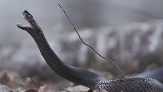 Легендарная змея. Гадюка обыкновенная