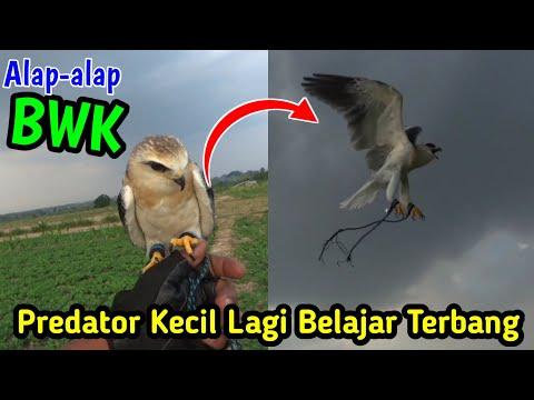 Proses Burung Elang Tikus/Alap-alap Bwk Belajar Terbang_Agus Buruh Channel