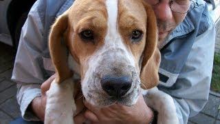 Beagle - pies złodziej. Dog robber. Chien voleur. Funny animals. śmieszne zwierzęta
