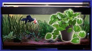 🐟 Une Plante Verte dans L'Aquarium ? La Pothos