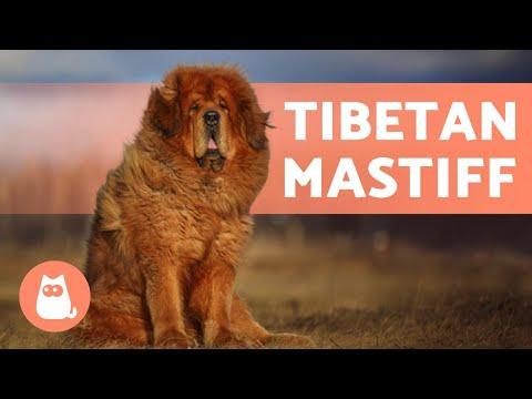 TIBETAN MASTIFF - The Fluffy Protector