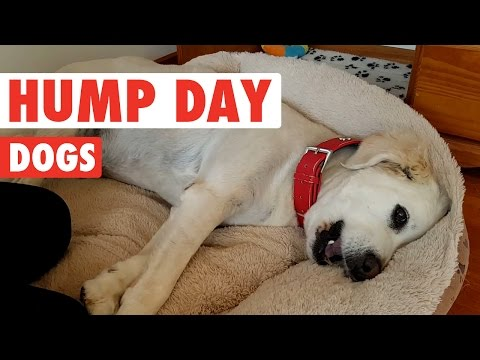 Hump Day Dogs Compilation 2016