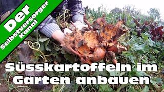 Süsskartoffeln im Garten anbauen