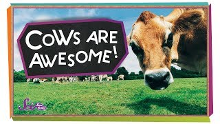 4 Reasons Cows are Awesome!