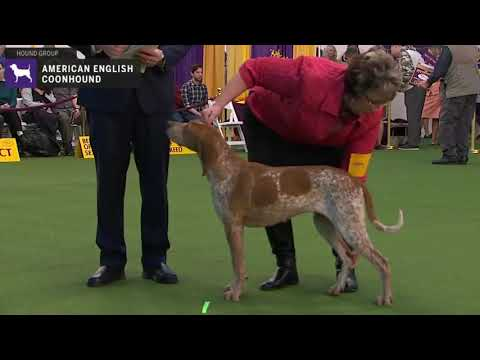 American English Coonhounds | Breed Judging 2020