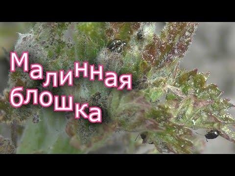 Малинная блошка (Batophila rubi payk) и методы ее уничтожения на садовом участке. Садоводство.