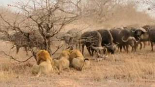 The Confrontation - 3 male Lions versus 300 Cape Buffalo