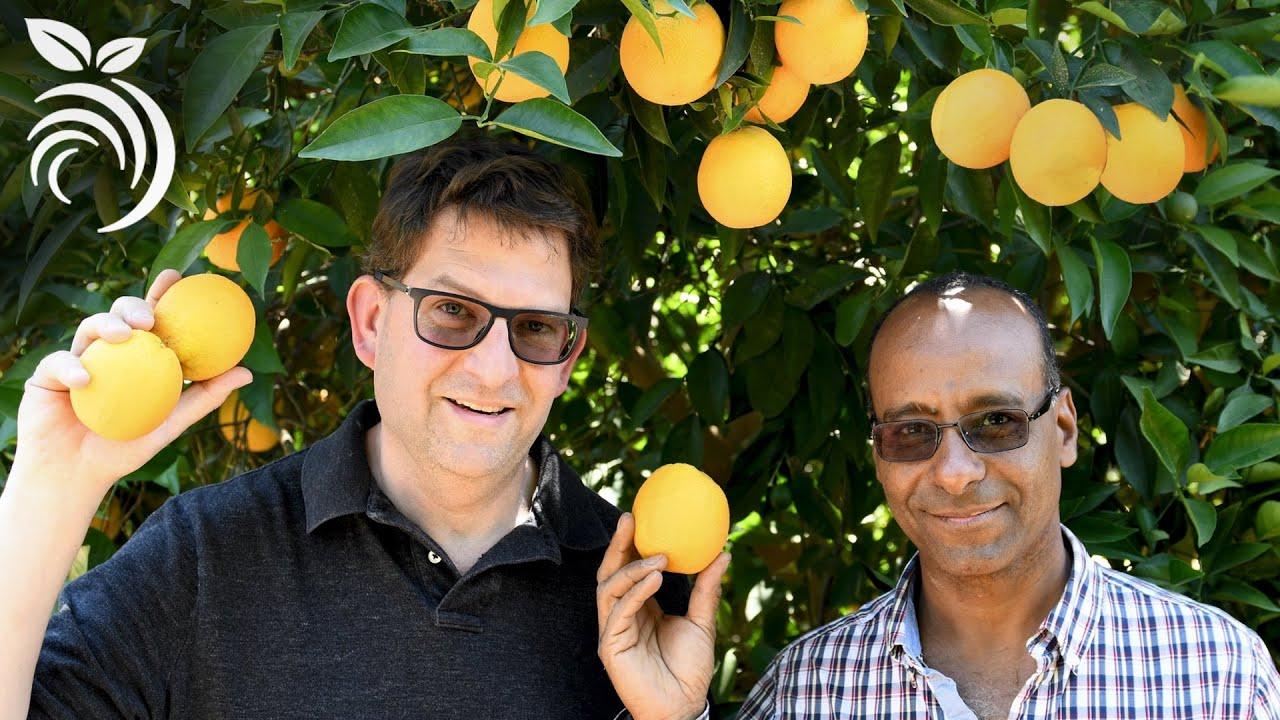 Chăm sóc cây cam quýt - Cách bón phân và các câu hỏi khác do Tiến sĩ Ashraf El-Kereamy trả lời