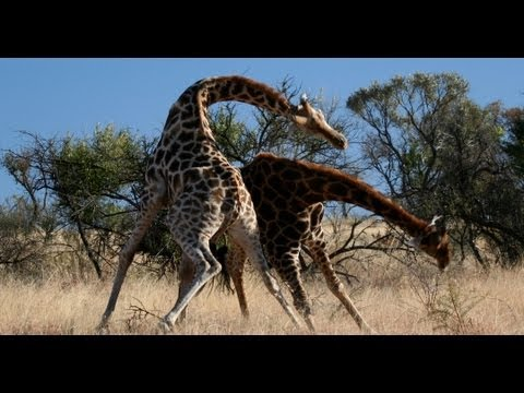KNOCK DOWN! Brutal Giraffe Fight on Safari at Pilanesberg, South Africa. (Very Rare)
