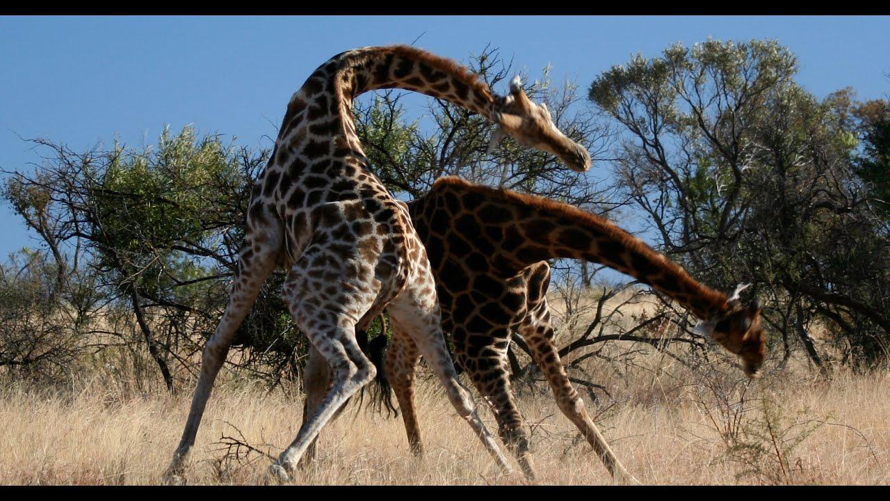 Safari Animal Wallpaper Knock Down Brutal Giraffe Fight On Safari At Pilanesberg