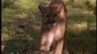 Cougar Attacks Camera