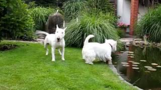 Mini Bull Terrier Lady Klucha And Elvis Westie