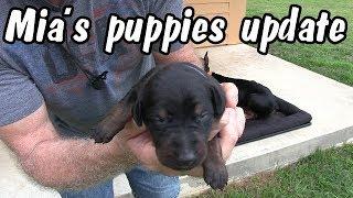 🐶Mia's puppies update - One week old doberman pinscher puppies 🐶