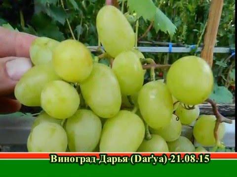 Виноград  Дарья (Grapes Dar'ya (Daria)) 2015